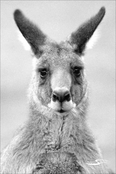 Kangaroo_black_and_white_photos_001.jpg