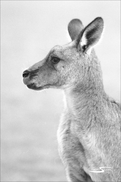 Kangaroo_black_and_white_photos_005.jpg
