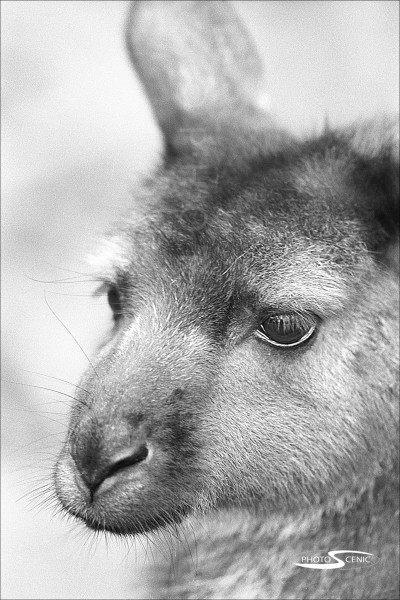 Kangaroo_black_and_white_photos_006.jpg