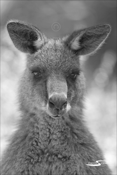 Kangaroo_black_and_white_photos_009.jpg