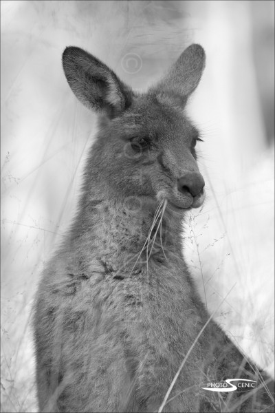 Kangaroo_black_and_white_photos_011.jpg