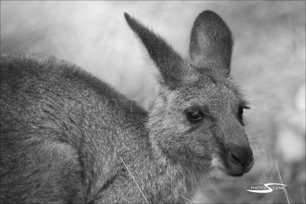 Kangaroo_black_and_white_photos_014.jpg