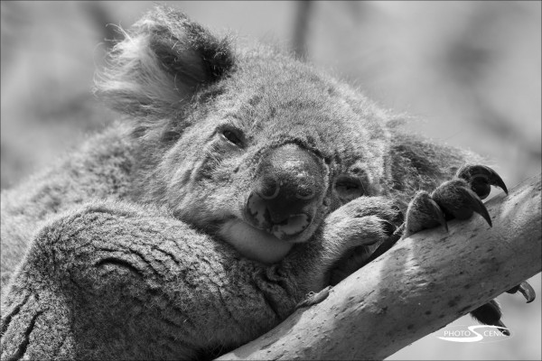 Koala_black_and_white_photos_001.jpg