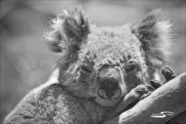 Koala_black_and_white_photos_002.jpg