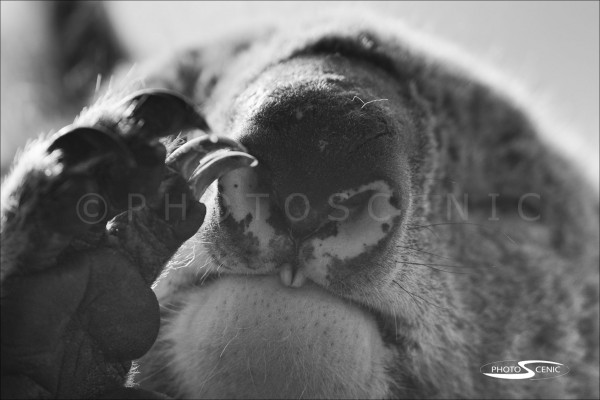 Koala_black_and_white_photos_005.jpg