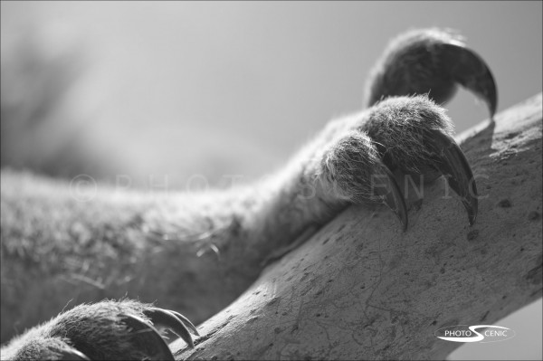 Koala_black_and_white_photos_006.jpg