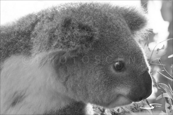 Koala_black_and_white_photos_008.jpg