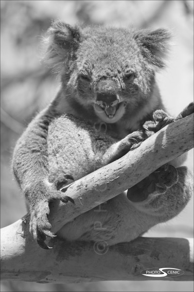 Koala_black_and_white_photos_014.jpg