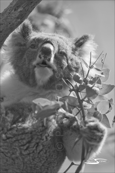 Koala_black_and_white_photos_015.jpg