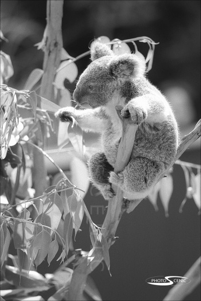 Koala_black_and_white_photos_016.jpg