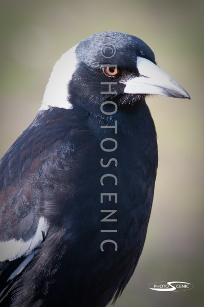 Magpie_Colour_photos_002.jpg