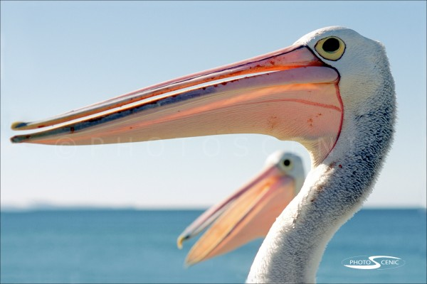 Pelican_Colour_photos_003.jpg