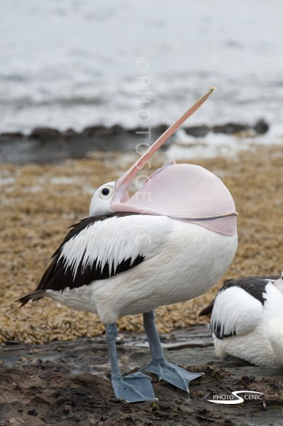 Pelican_Colour_photos_005.jpg