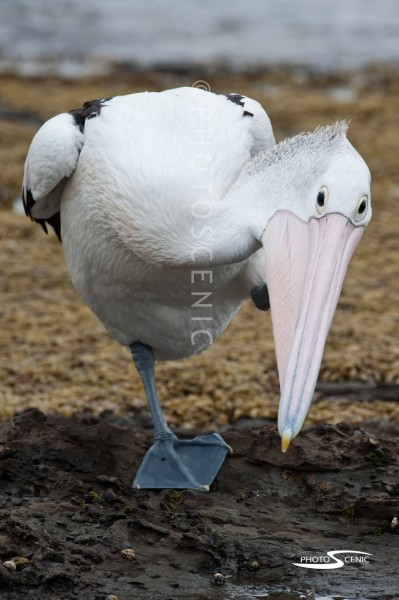 Pelican_Colour_photos_007.jpg