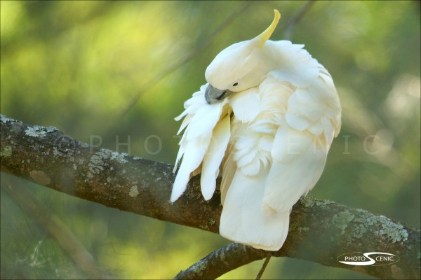 White_Cockatoo_039.jpg