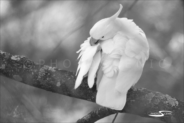 Cockatoo_black_and_white_photos_002.jpg